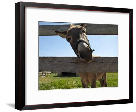 Curious Donkey Sticks His Head Through a Fence-Stacy Gold-Framed Art Print