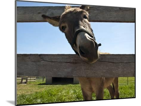 Curious Donkey Sticks His Head Through a Fence-Stacy Gold-Mounted Photographic Print