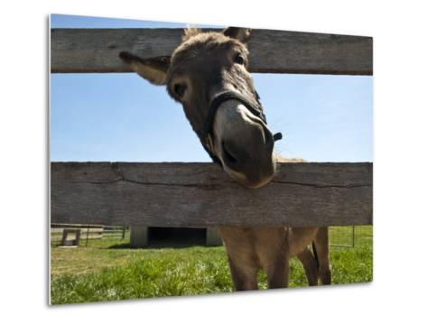 Curious Donkey Sticks His Head Through a Fence-Stacy Gold-Metal Print