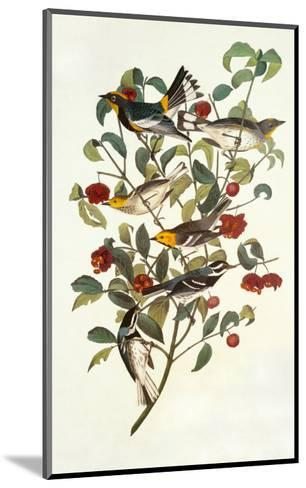 Audubon's Warbler-John James Audubon-Mounted Art Print