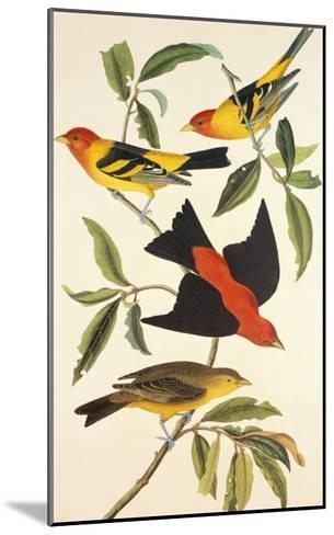 Louisiana Tanager, Scarlet Tanager-John James Audubon-Mounted Art Print