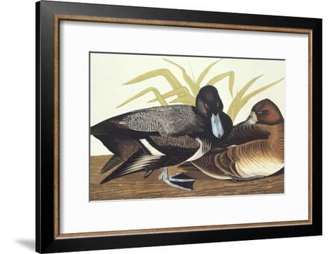 Scaup Duck-John James Audubon-Framed Art Print