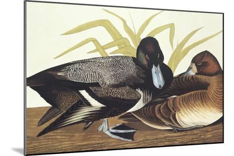Scaup Duck-John James Audubon-Mounted Art Print