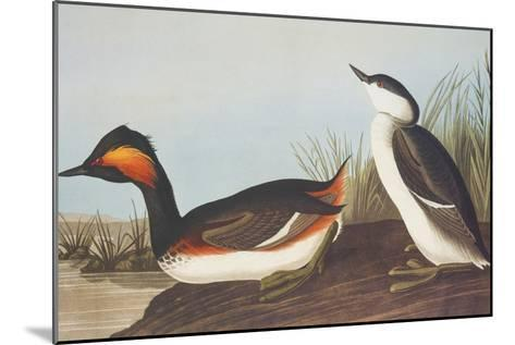 Eared Grebe-John James Audubon-Mounted Art Print