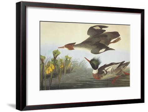Red-Breasted Merganser-John James Audubon-Framed Art Print