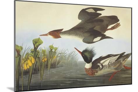 Red-Breasted Merganser-John James Audubon-Mounted Art Print