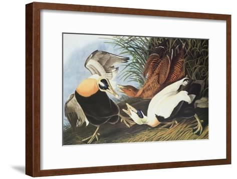 Eider Duck-John James Audubon-Framed Art Print