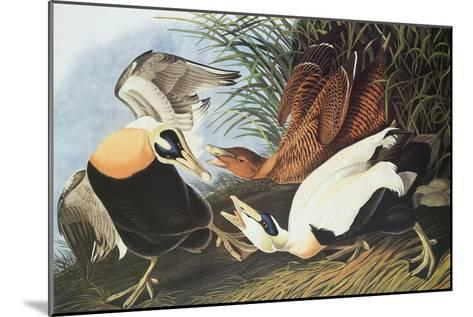 Eider Duck-John James Audubon-Mounted Art Print