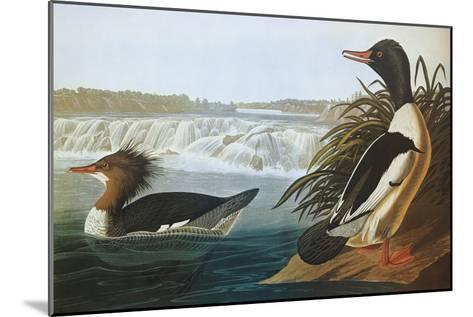 Goosander-John James Audubon-Mounted Art Print