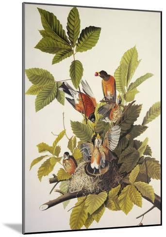 American Robin-John James Audubon-Mounted Art Print