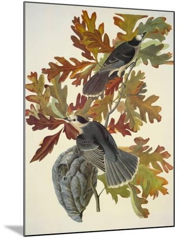 Canada Jay-John James Audubon-Mounted Art Print