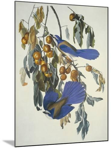 Florida Jay-John James Audubon-Mounted Art Print
