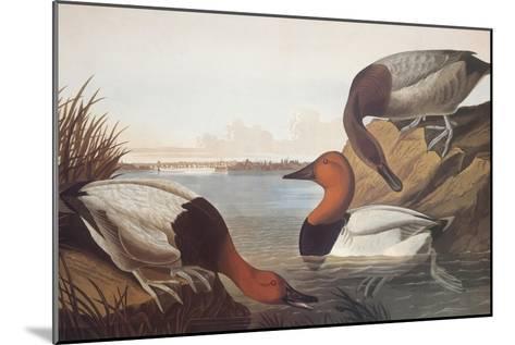 Canvas-Backed Duck-John James Audubon-Mounted Art Print