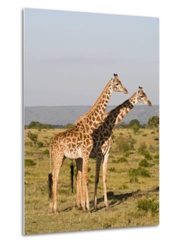 Masai Giraffe (Giraffa Camelopardalis), Masai Mara National Reserve, Kenya, East Africa, Africa-Sergio Pitamitz-Metal Print
