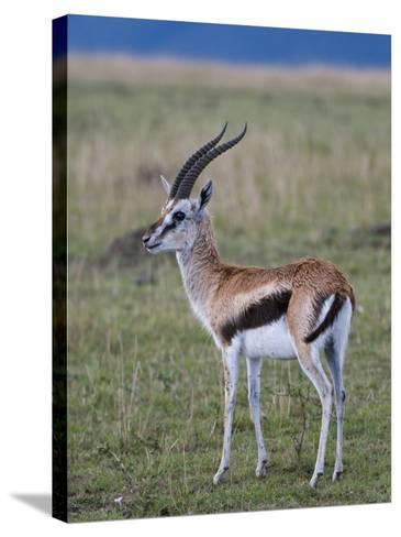 Thomson Gazelle (Gazella Thomsoni), Masai Mara National Reserve, Kenya, East Africa, Africa-Sergio Pitamitz-Stretched Canvas Print