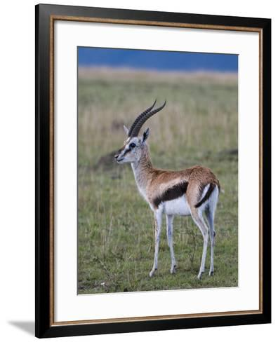 Thomson Gazelle (Gazella Thomsoni), Masai Mara National Reserve, Kenya, East Africa, Africa-Sergio Pitamitz-Framed Art Print