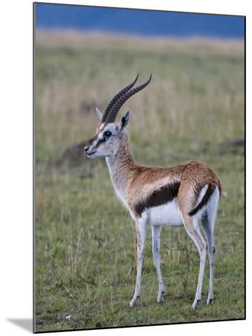 Thomson Gazelle (Gazella Thomsoni), Masai Mara National Reserve, Kenya, East Africa, Africa-Sergio Pitamitz-Mounted Photographic Print
