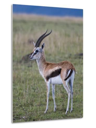 Thomson Gazelle (Gazella Thomsoni), Masai Mara National Reserve, Kenya, East Africa, Africa-Sergio Pitamitz-Metal Print