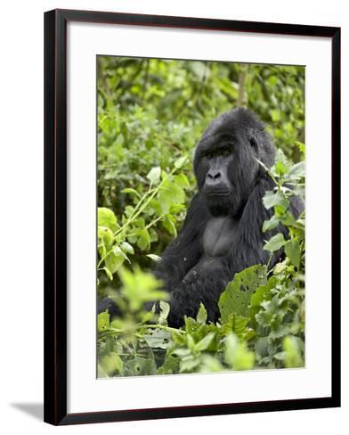 Silverback Mountain Gorilla (Gorilla Gorilla Beringei), Shinda Group, Volcanos National Park-James Hager-Framed Art Print
