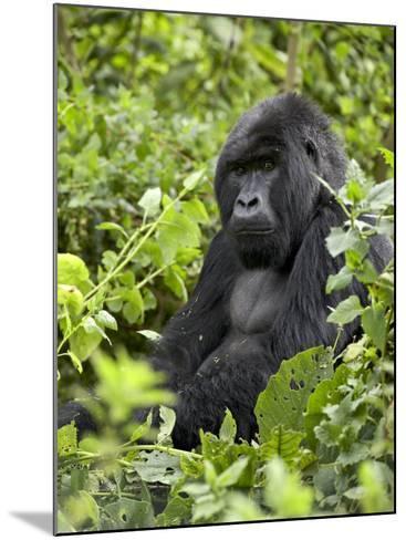 Silverback Mountain Gorilla (Gorilla Gorilla Beringei), Shinda Group, Volcanos National Park-James Hager-Mounted Photographic Print