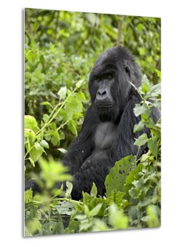Silverback Mountain Gorilla (Gorilla Gorilla Beringei), Shinda Group, Volcanos National Park-James Hager-Metal Print