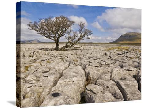 Tree Growing Through Limestone, Ingleton, Yorkshire Dales National Park, England, United Kingdom-Neale Clark-Stretched Canvas Print