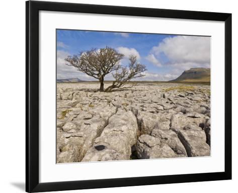 Tree Growing Through Limestone, Ingleton, Yorkshire Dales National Park, England, United Kingdom-Neale Clark-Framed Art Print
