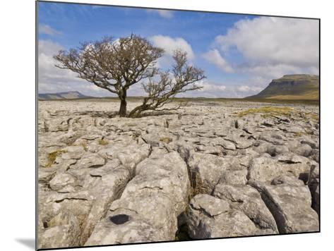 Tree Growing Through Limestone, Ingleton, Yorkshire Dales National Park, England, United Kingdom-Neale Clark-Mounted Photographic Print