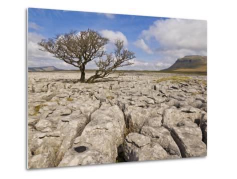Tree Growing Through Limestone, Ingleton, Yorkshire Dales National Park, England, United Kingdom-Neale Clark-Metal Print