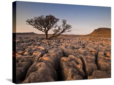 Tree Growing Through the Limestone at Sunset, Ingleton, Yorkshire Dales National Park, England-Neale Clark-Stretched Canvas Print