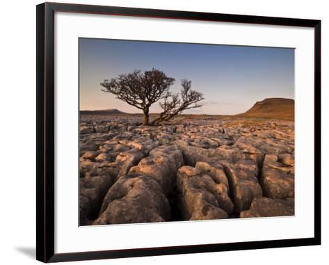 Tree Growing Through the Limestone at Sunset, Ingleton, Yorkshire Dales National Park, England-Neale Clark-Framed Art Print