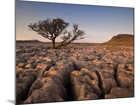 Tree Growing Through the Limestone at Sunset, Ingleton, Yorkshire Dales National Park, England-Neale Clark-Mounted Photographic Print