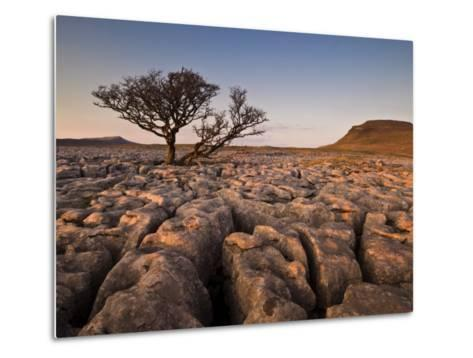 Tree Growing Through the Limestone at Sunset, Ingleton, Yorkshire Dales National Park, England-Neale Clark-Metal Print