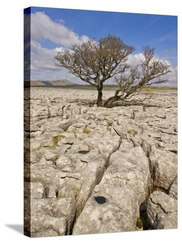 Tree Growing Through the Limestone, Yorkshire Dales National Park, Yorkshire, England-Neale Clark-Stretched Canvas Print