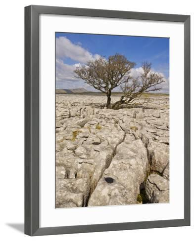 Tree Growing Through the Limestone, Yorkshire Dales National Park, Yorkshire, England-Neale Clark-Framed Art Print