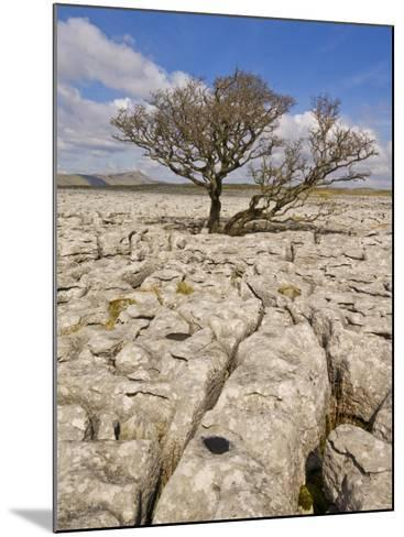 Tree Growing Through the Limestone, Yorkshire Dales National Park, Yorkshire, England-Neale Clark-Mounted Photographic Print
