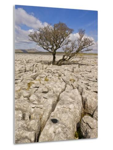 Tree Growing Through the Limestone, Yorkshire Dales National Park, Yorkshire, England-Neale Clark-Metal Print
