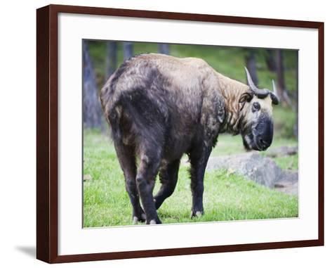 Takin, National Animal of Bhutan, Motithang Takin Preserve, Thimphu, Bhutan, Asia-Christian Kober-Framed Art Print