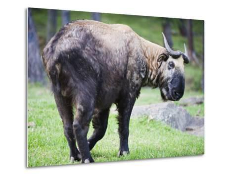 Takin, National Animal of Bhutan, Motithang Takin Preserve, Thimphu, Bhutan, Asia-Christian Kober-Metal Print
