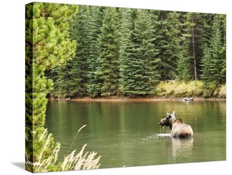 Cow Moose Feeding in Moose Lake, Jasper National Park, UNESCO World Heritage Site, Alberta, Canada-Jochen Schlenker-Stretched Canvas Print