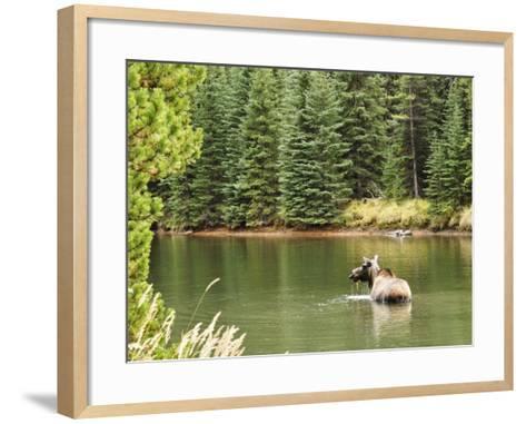 Cow Moose Feeding in Moose Lake, Jasper National Park, UNESCO World Heritage Site, Alberta, Canada-Jochen Schlenker-Framed Art Print