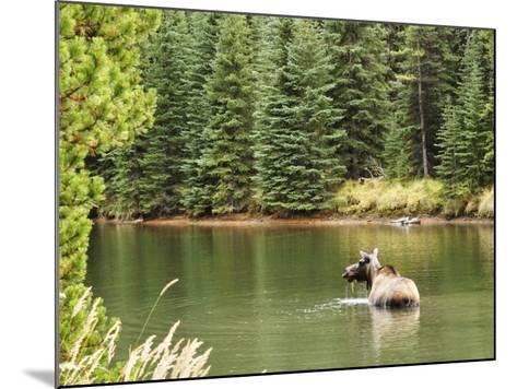 Cow Moose Feeding in Moose Lake, Jasper National Park, UNESCO World Heritage Site, Alberta, Canada-Jochen Schlenker-Mounted Photographic Print