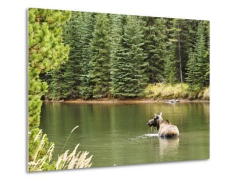 Cow Moose Feeding in Moose Lake, Jasper National Park, UNESCO World Heritage Site, Alberta, Canada-Jochen Schlenker-Metal Print