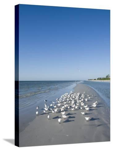 Royal Tern Birds on Beach, Sanibel Island, Gulf Coast, Florida-Robert Harding-Stretched Canvas Print