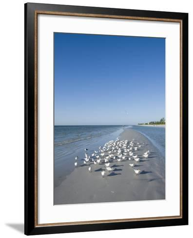 Royal Tern Birds on Beach, Sanibel Island, Gulf Coast, Florida-Robert Harding-Framed Art Print