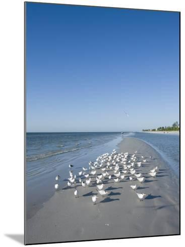 Royal Tern Birds on Beach, Sanibel Island, Gulf Coast, Florida-Robert Harding-Mounted Photographic Print