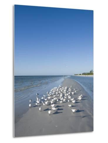 Royal Tern Birds on Beach, Sanibel Island, Gulf Coast, Florida-Robert Harding-Metal Print