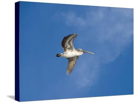 Pelicans in Flight, Sanibel Island, Gulf Coast, Florida, United States of America, North America-Robert Harding-Stretched Canvas Print
