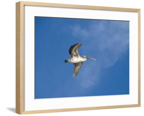 Pelicans in Flight, Sanibel Island, Gulf Coast, Florida, United States of America, North America-Robert Harding-Framed Art Print