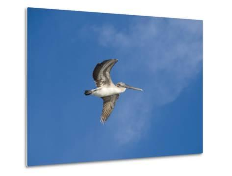 Pelicans in Flight, Sanibel Island, Gulf Coast, Florida, United States of America, North America-Robert Harding-Metal Print